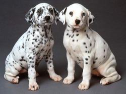 racas-de-caes, caes, animais-de-estimacao - dálmatas, cães dálmatas - O fascinante cão Dálmata