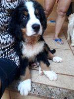 Boiadeiro Bernês - Cão de Estimação Animais de Estimação Cães Raças de Cães
