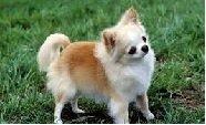 racas-de-caes, caes, animais-de-estimacao -  - O Magnífico Pet Chihuahua - Raça de Cachorros