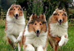 racas-de-caes, caes, animais-de-estimacao -  - Saiba mais sobre a raça Collie