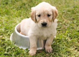 Periodo para desmamar seu cachorro. Animais de Estimação Cães Curiosidades sobre Cães  filhotes desmamar