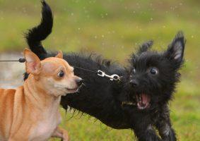 cachorro-late-muito