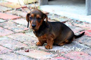 guia-dachshund