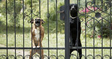 curiosidades-sobre-caes - Veja sobre o hábito territorialista dos cachorros - Veja sobre o hábito territorialista dos cachorros