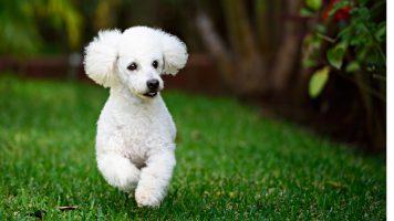 caracteristicas-poodle