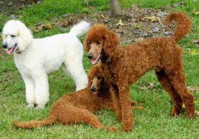 como-cuidar-poodle