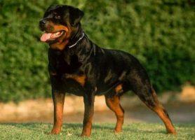 racas-de-caes - Informações essenciais da raça Rottweiler - Informações essenciais da raça Rottweiler