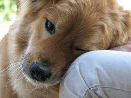 cão no colo - cachorro gostar de uma pessoa